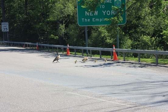 geese crossing the border in ontario canada