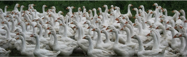 geese farm poultry