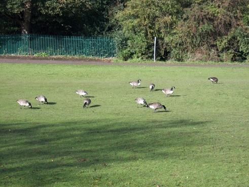 geese feeding time