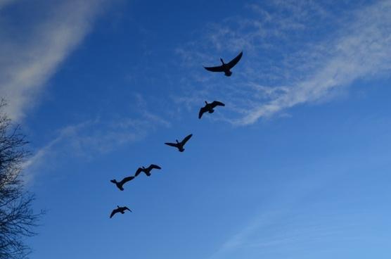 geese flock flight