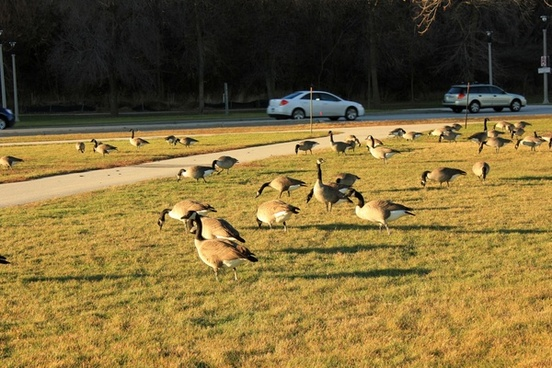 geese in the park in milwaukee wisconsin