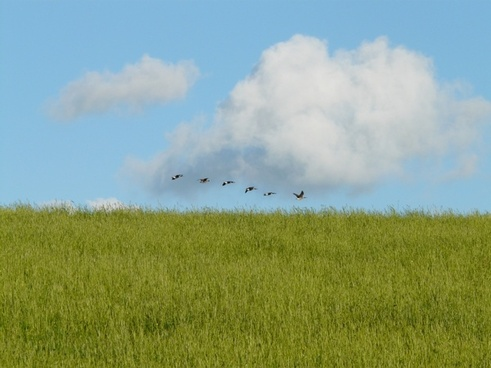 geese migratory birds fly