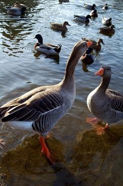geese oca nature
