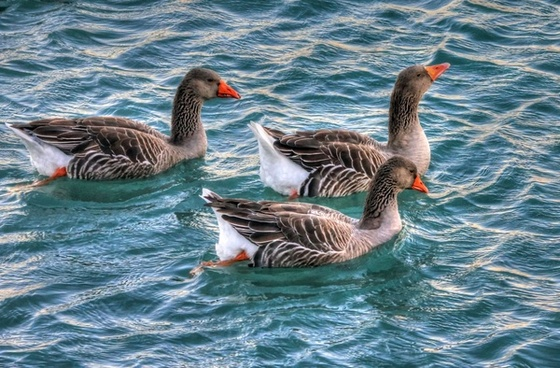 geese swimming in water