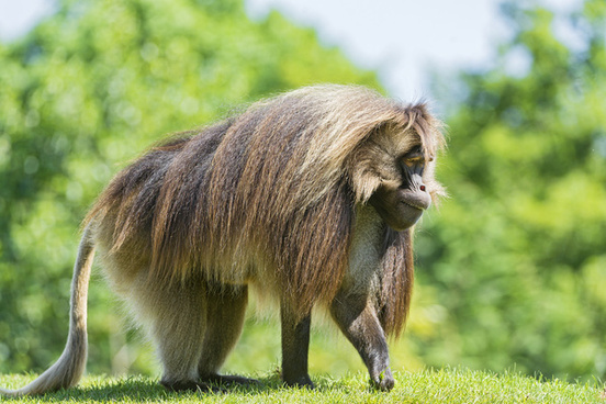 gelada picking grass