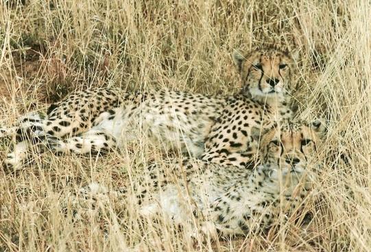 gepard feline wild cat