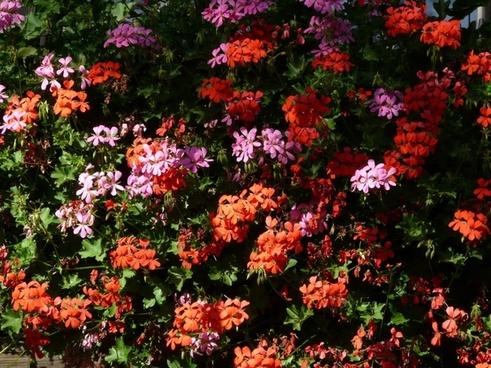 geranium balcony plants flowers