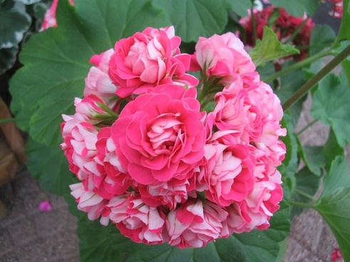geranium pink double