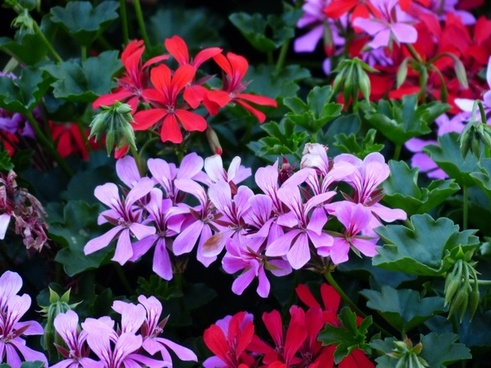 geranium plant purple