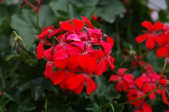 geranium red flower