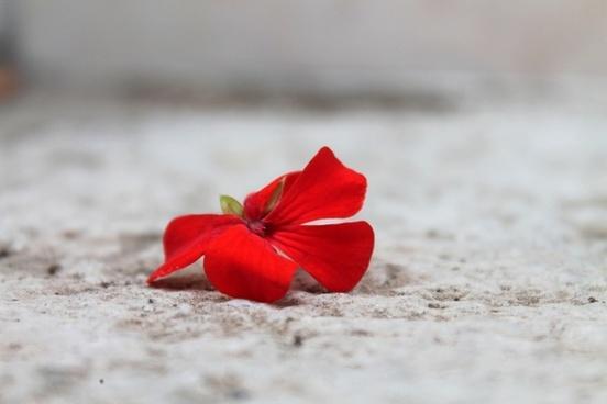 geranium red flower gerani