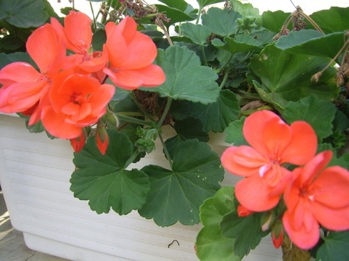 geraniums in planter