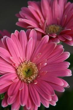 gerbera daisy pink daisy