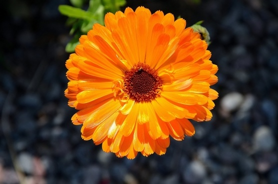 gerbera germini flower