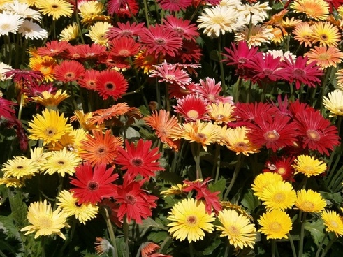 gerbera red flowers yellow flowers