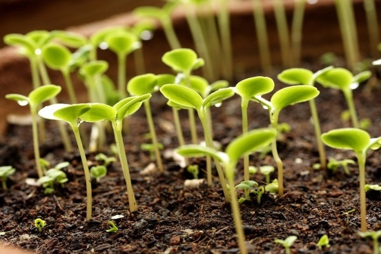 germination plant picture