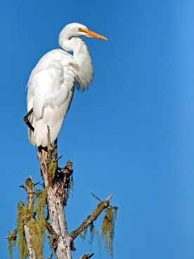 giant egret bird wildlife