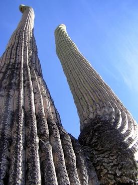 giant saguaro cactus cacti