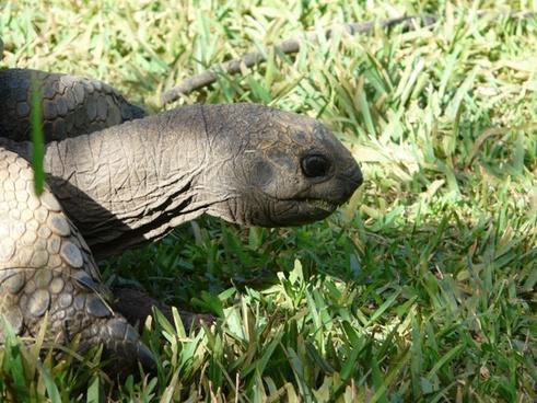 giant tortoise mauritius animal