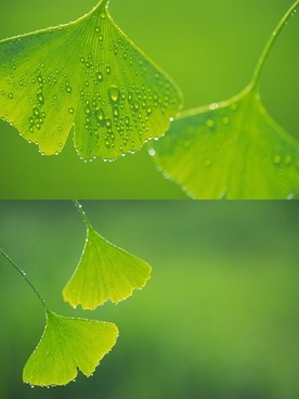 ginkgo biloba droplets highdefinition picture
