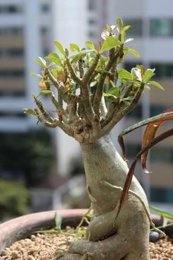 ginseng benjamin potted plant apartments
