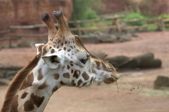 giraffe africa head