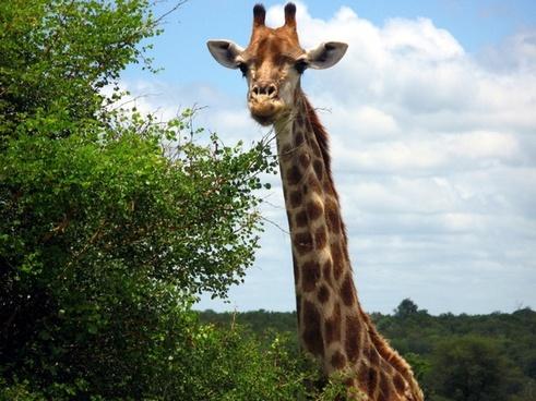 giraffe animal safari