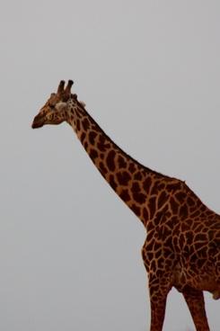 giraffe bird friends