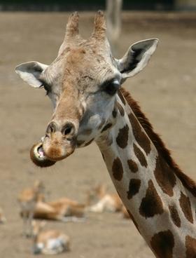 giraffe chewing head