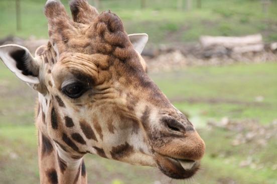 giraffe neck animal