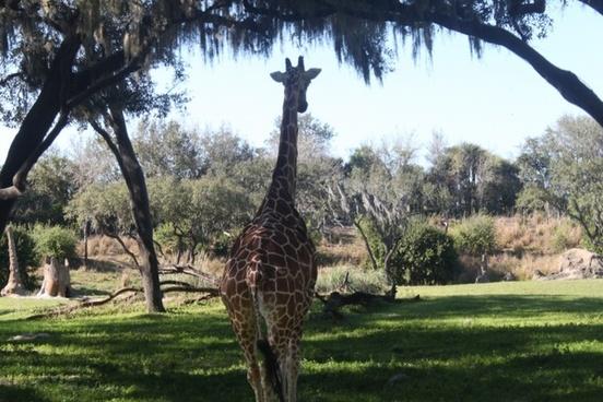 giraffe safari wild