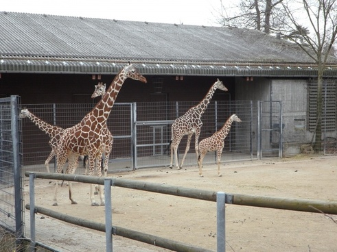 giraffe zoo africa