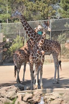 giraffe zoo safari