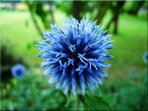 globe thistle blue garden