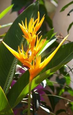 goan flowers yellow
