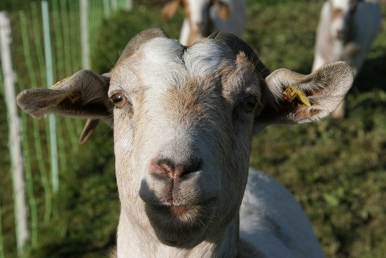 goat animal allg�u