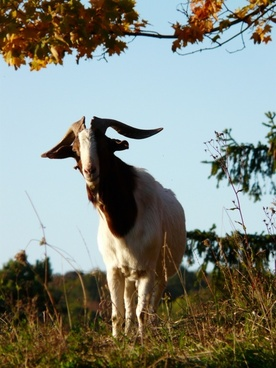 goat billy-goat horns