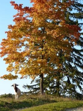 goat idyll autumn