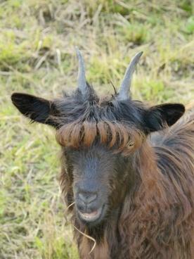 goat mammal hair