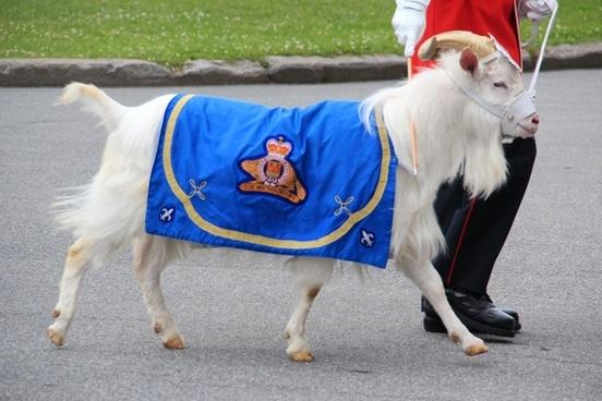 goat mascot canada