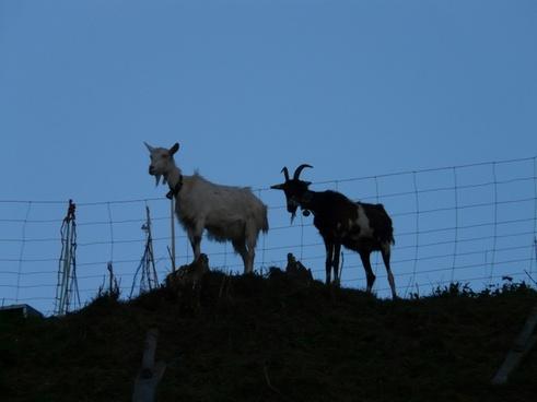 goats pasture pets