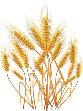 gold color wheat vecotr set
