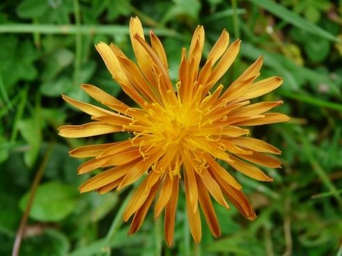gold hawk's beard hawksbeard plant