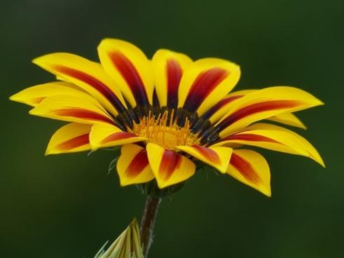 gold noon gazanie noon gold flower