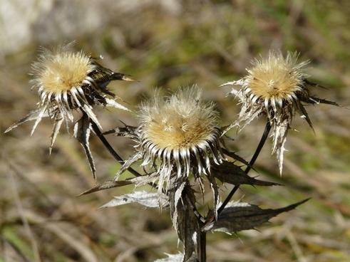 gold thistle flower trockenblume