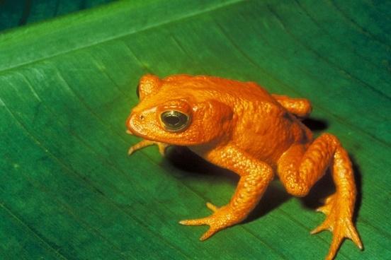 gold toad toad anuran