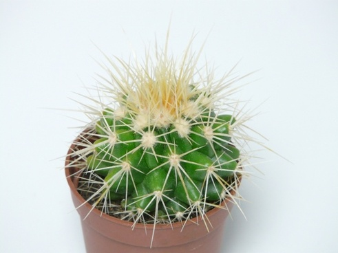 golden ball cactus cactus cactus greenhouse