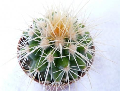 golden ball cactus cactus echinocactus grusonii