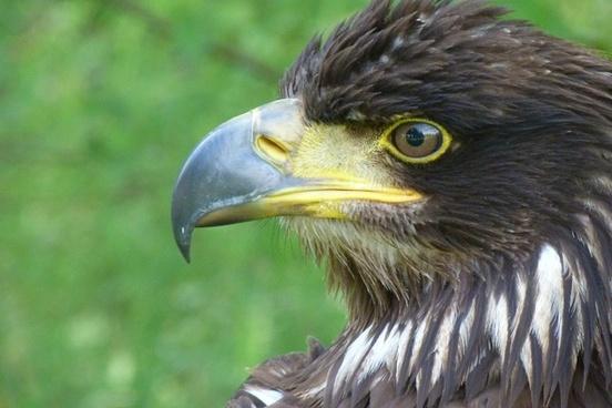 golden eagle bird bird of prey