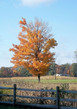 golden fall tree all alone